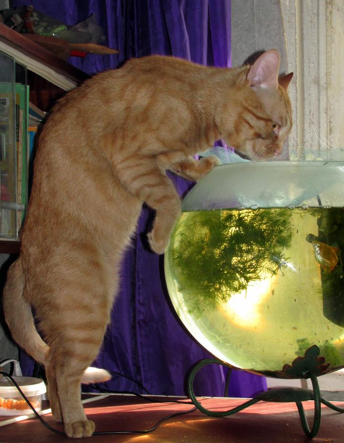 Рыжий кот из аквариума пьёт